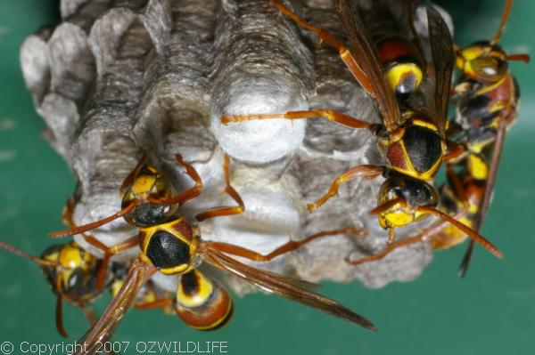Paper Wasp Polistes sp