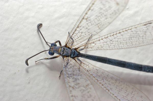 Antlion Myrmeleontidae family