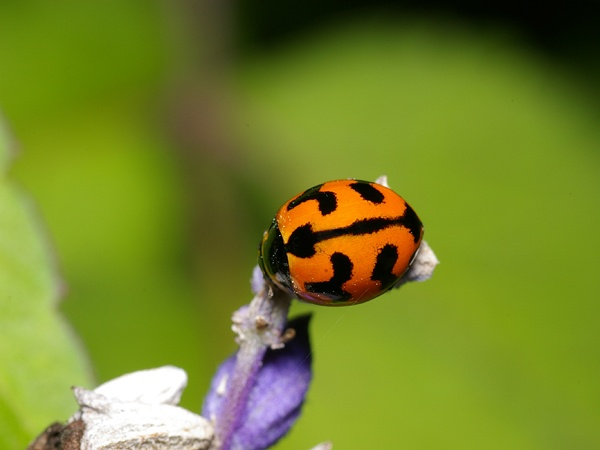 Transverse Ladybird Coccinella transversalis