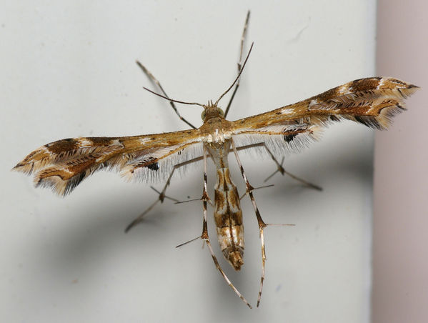 Plume Moth Pterophoridae family