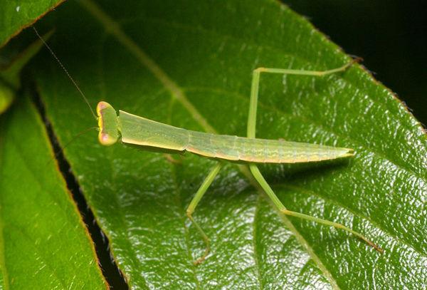 Garden Mantis Orthodera ministralis