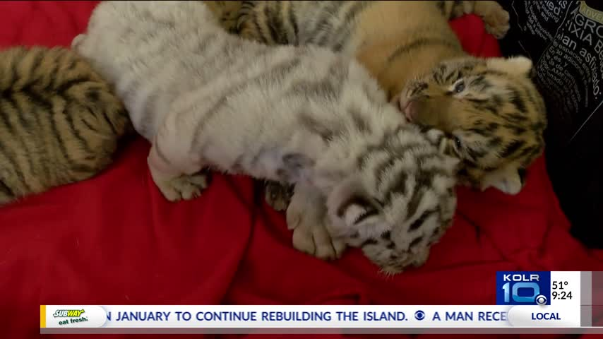WEB EXTRA- Largest Little of Tigers Ever Born at Wild Animal_08864103