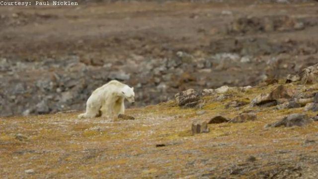 polar bear_1513021807703.jpg