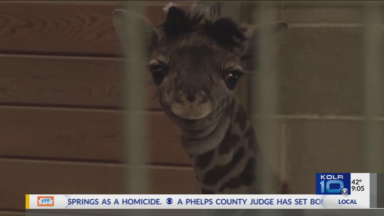 Kansas_City_Zoo_Welcomes_Baby_Giraffe_0_20180210035022