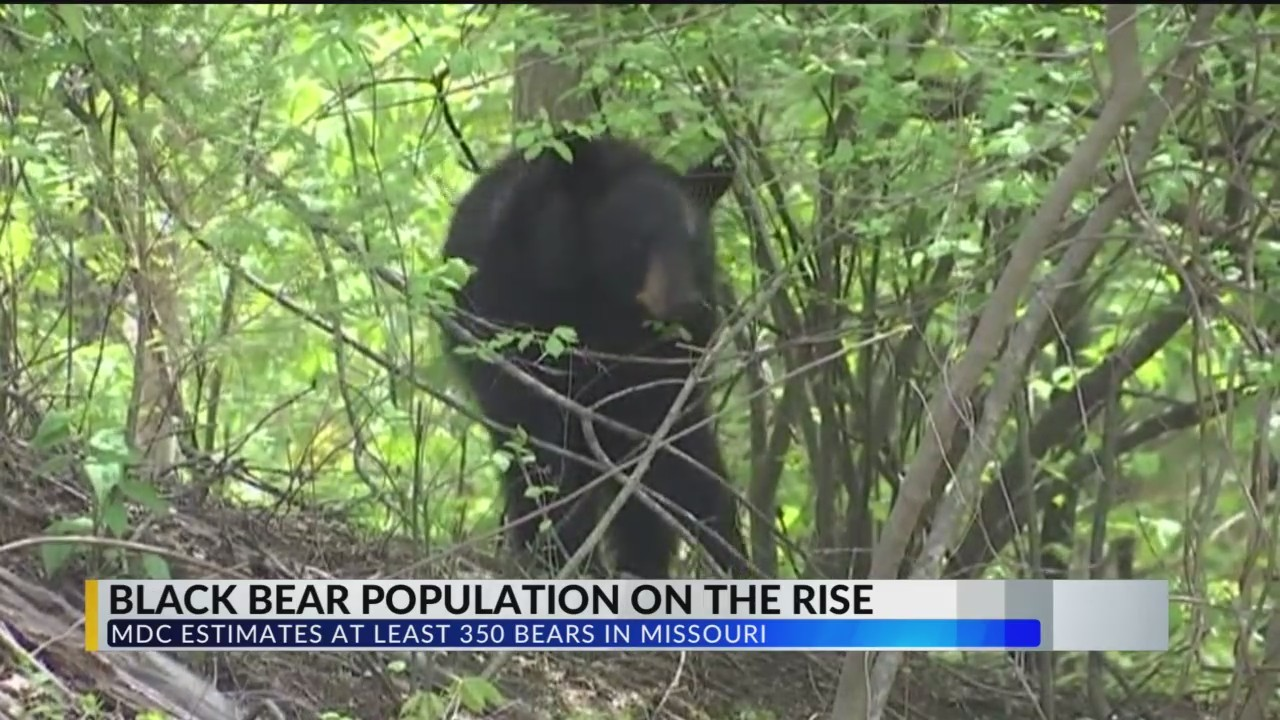 Bear_Found_Dead_Near_Strafford_on_Inters_0_20180528233309