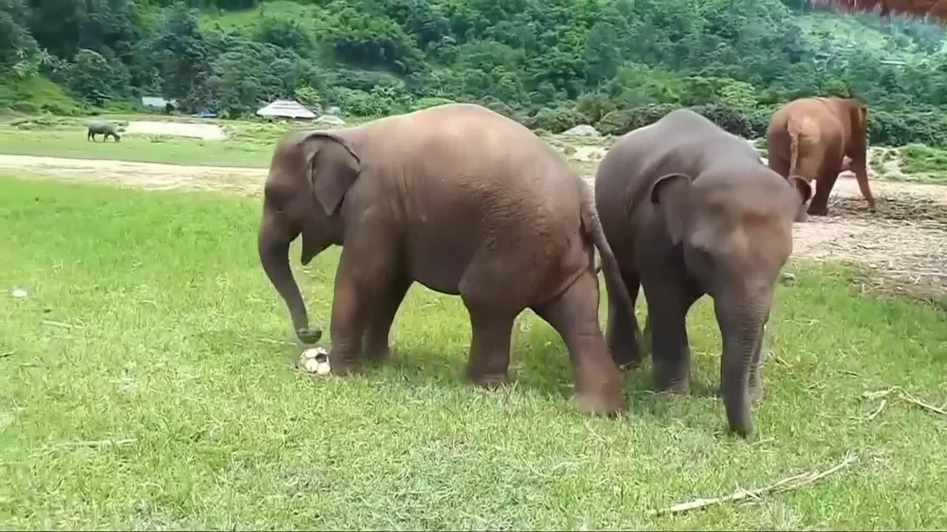 WEB_EXTRA__Baby_Elephants_Play_Soccer_0_20180617211514