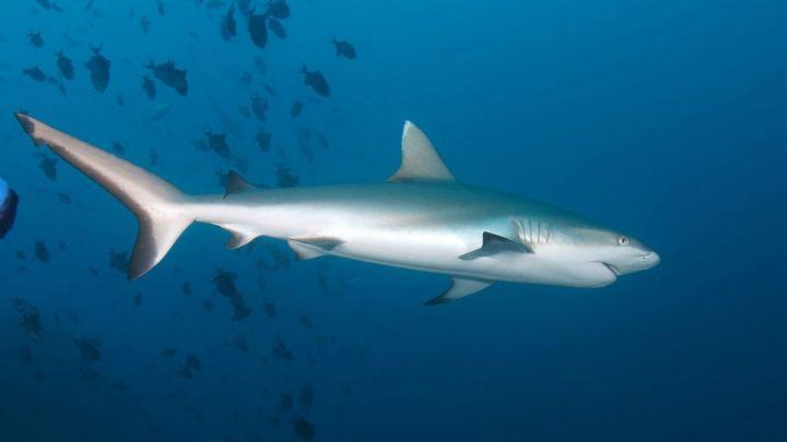 gray reef shark_1542550144668.jpg.jpg