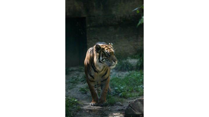 tiger_1555781053473.jpg