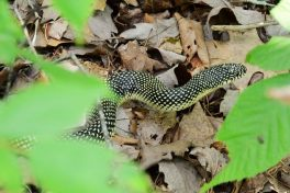 Photograph of a Speckled Kings taken in Piney Creek Wilderness, Missouri