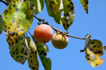 Persimmons - we found a lot of ripe ones.