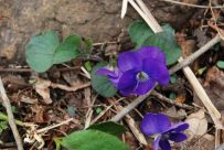 Wood Violet (Viola sp.)