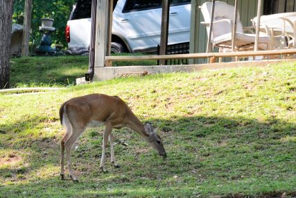 Deer grazing on a lawn near the water on the James River Springfield. www.ozarkswalkabout.com