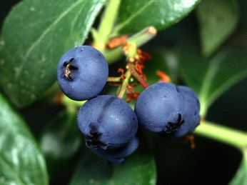 OZblu-Blueberries-On-Bush-2