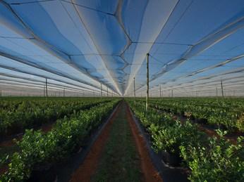 OZblu Blueberry Farm