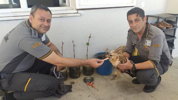 Özel güvenlik görevlileri buldukları yaralı ve bitkin şahini besleyip tedavi ettiler