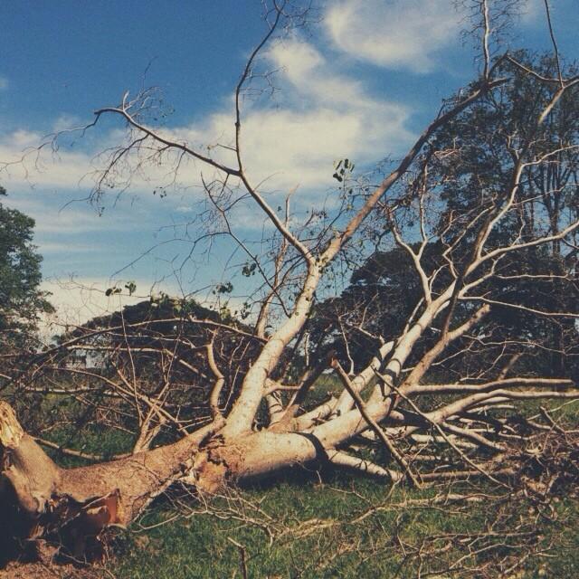 Leña del árbol caído