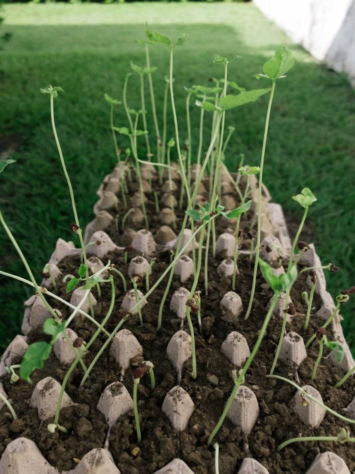 Nueva Siembra de Frijoles Cuarentones