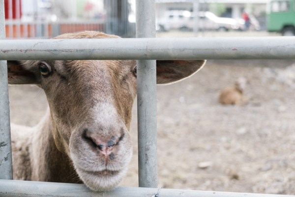 My Week in Pictures – Goats