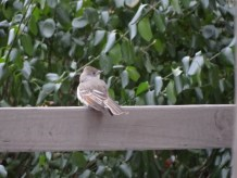 545-01-2012 Ash-throated Flycatcher 01:04:2012 Newville, Cumberland Co., Dale Gearhart #3