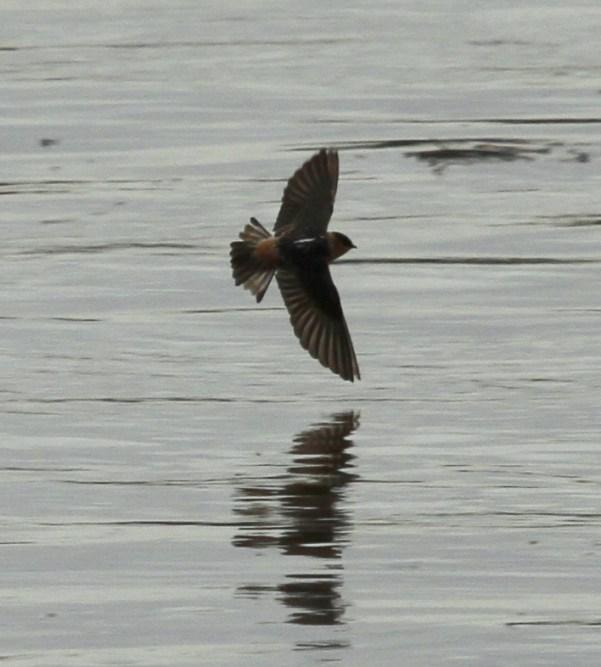 576-06-2012 Cave Swallow 10-31-2012 Dauphin West Fairview -J. Derr
