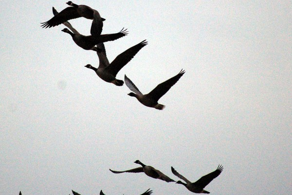 Pink_footed_Goose_in_flight_(PORC)