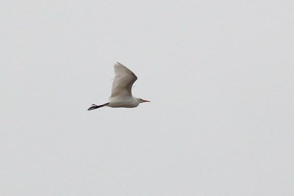 089-02-2012 Cattle Egret 10-30-2012 Dauphin