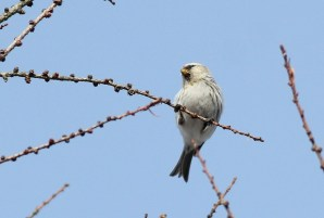 Hoary Redpoll, Centre County. Photo by Alex Lamoreaux.