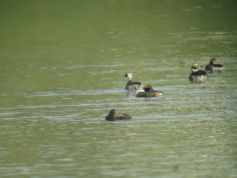 Eared Grebe -Size comparison- Peace Valley Park 4-17-13