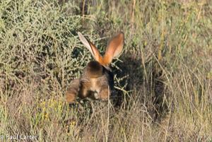 Riverine Rabbit rear view