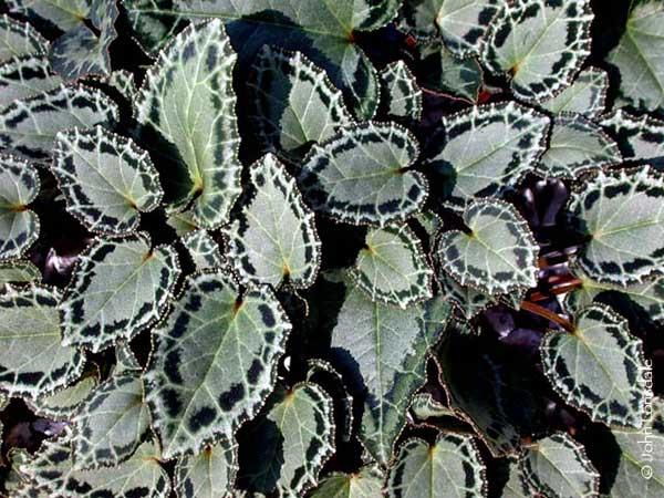 Cyclamen graecum ssp. anatolicum foliage. Photo by John Lonsdale, via Pacific Bulb Society.