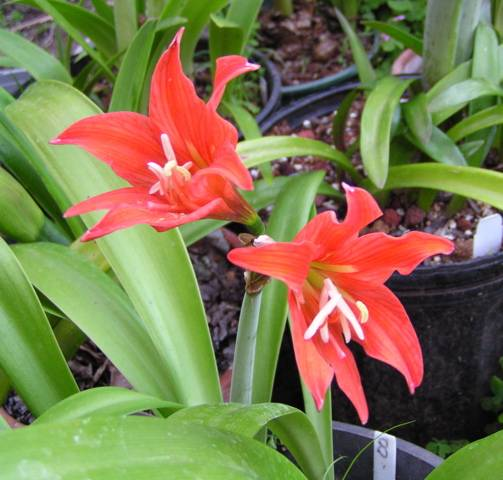 Pacific Bulb Society  Hippeastrum Species Two