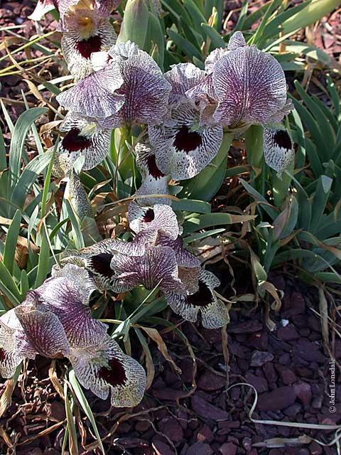 Pacific Bulb Society Aril Irises