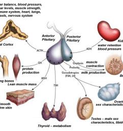 pituitary gland hormones [ 1024 x 838 Pixel ]