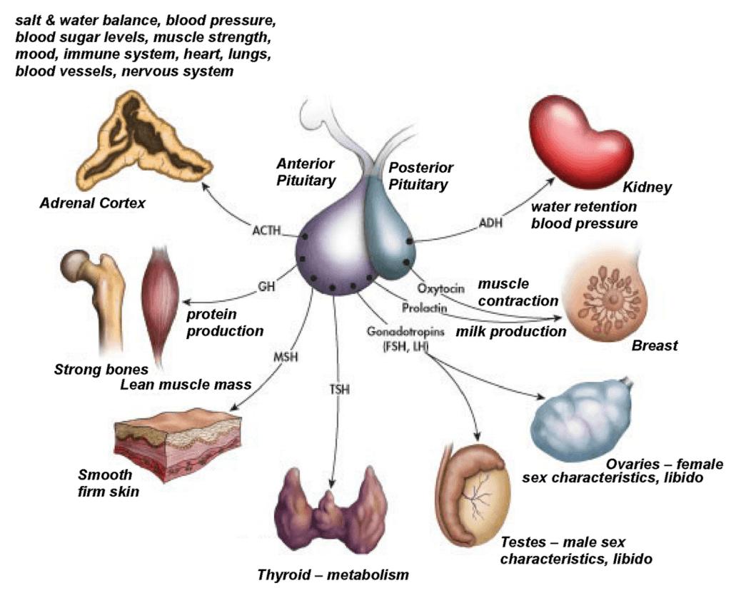 hight resolution of pituitary gland hormones