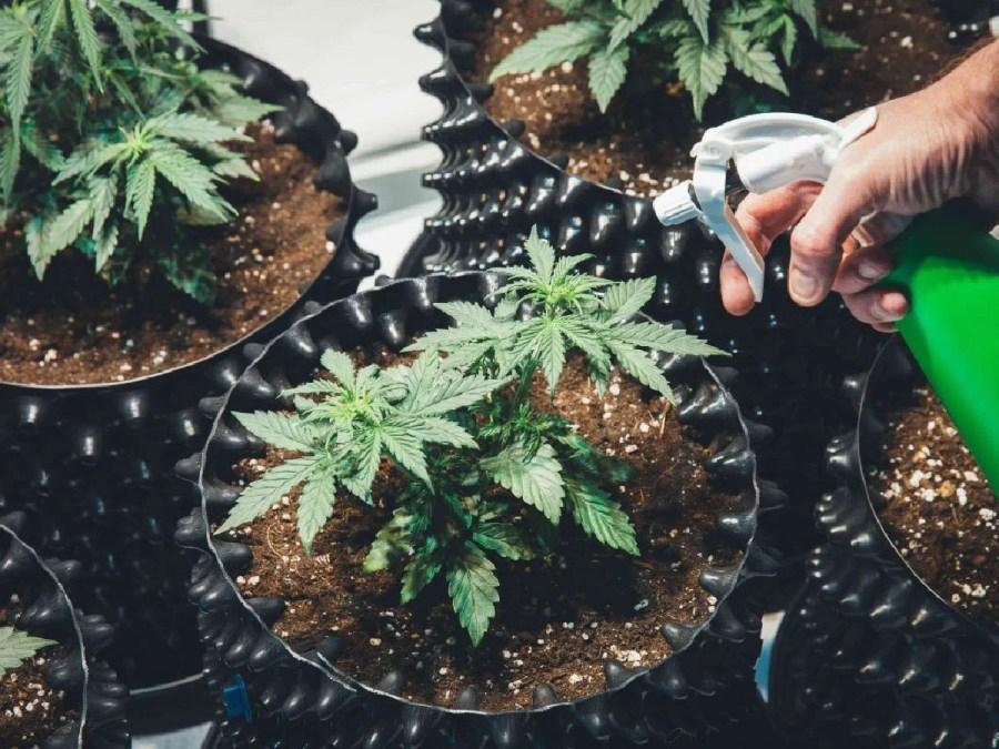 growing marijuana from home