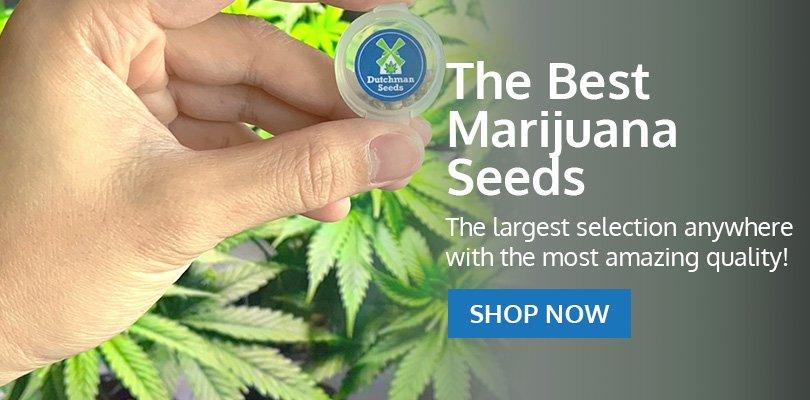 PSB-marijuana-seeds-saint-john-2