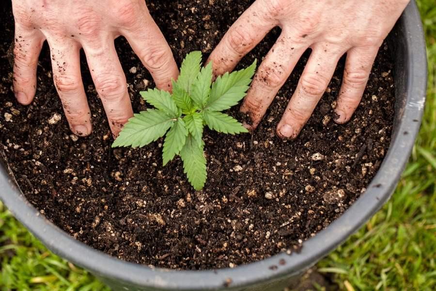 buy-marijuana-seeds-kirkland