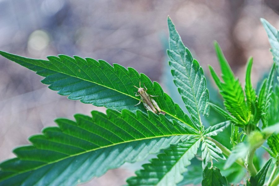buy-marijuana-seeds-modesto