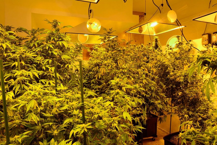 growing-cannabis-seeds-in-greenhouse