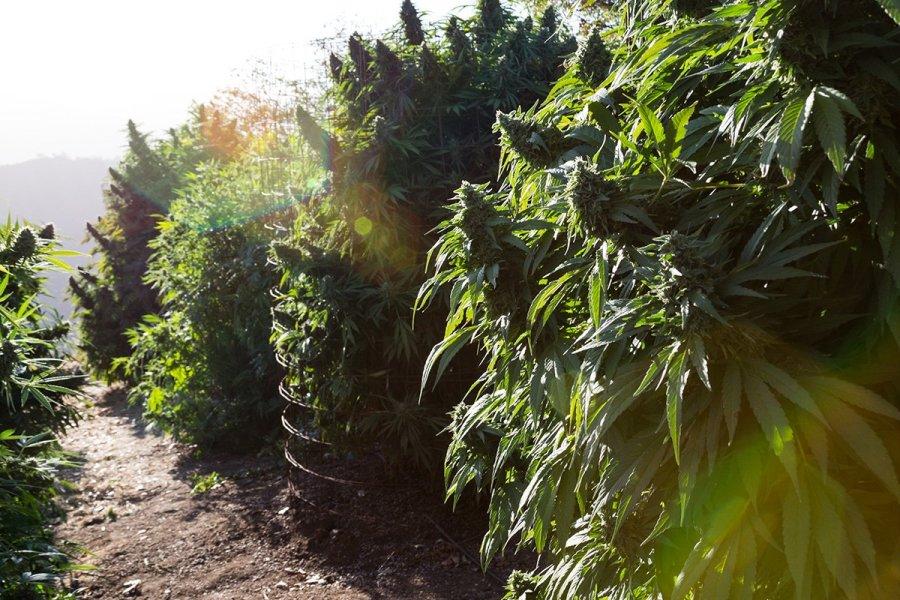 buy-cannabis-seeds-flint