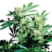 Buy-Alien-Rift-Autoflowering-Feminized-Marijuana-Seeds