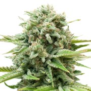 Buy-Sugar-Mama-Feminized-Marijuana-Seeds
