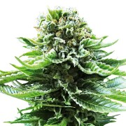 Buy Grand Hindu Feminized Marijuana Seeds