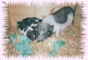 Pot-bellied pig 01