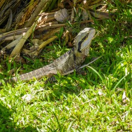 Lizard Australia