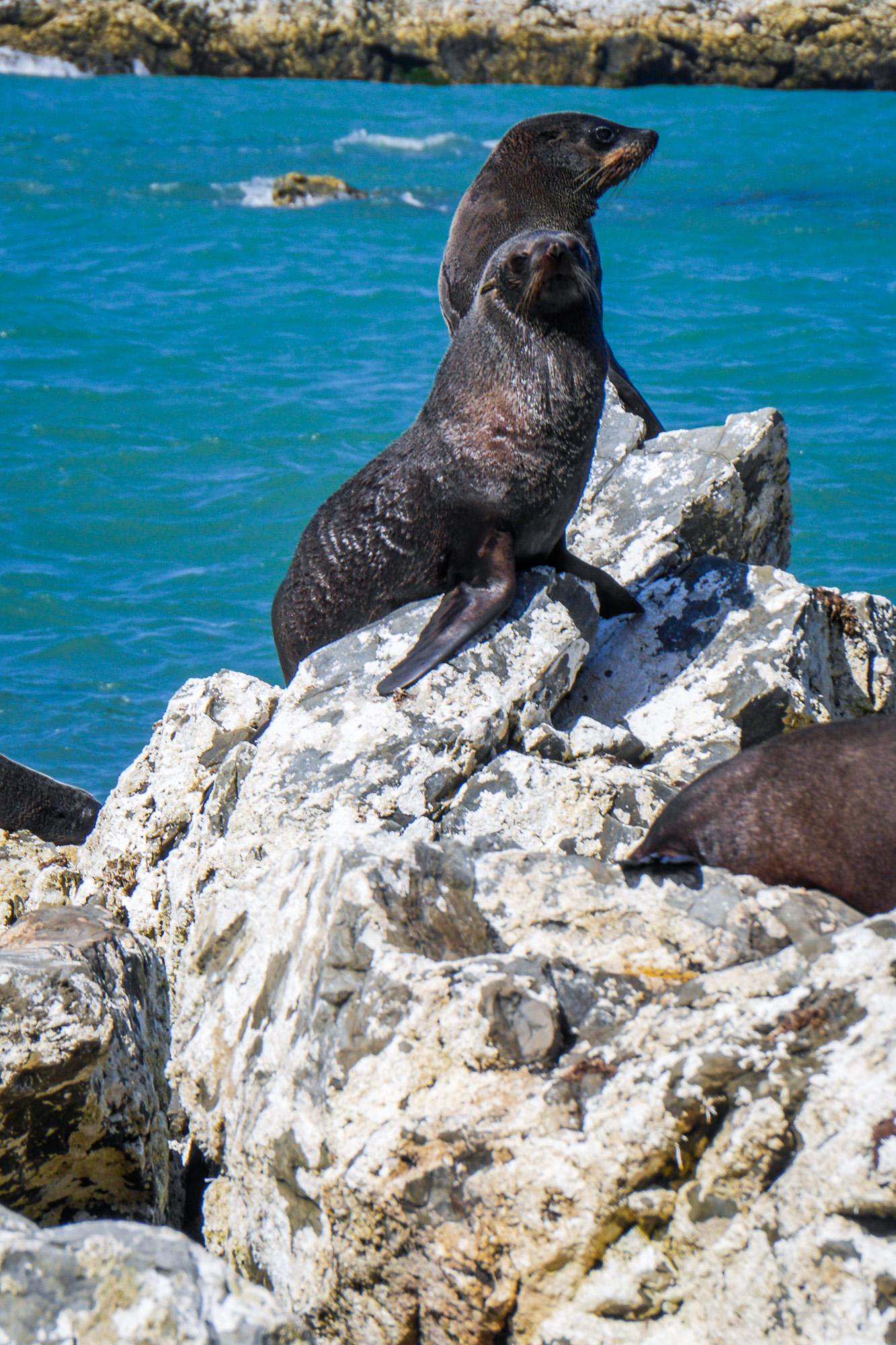 Fur Seal Colony, Kaikoura