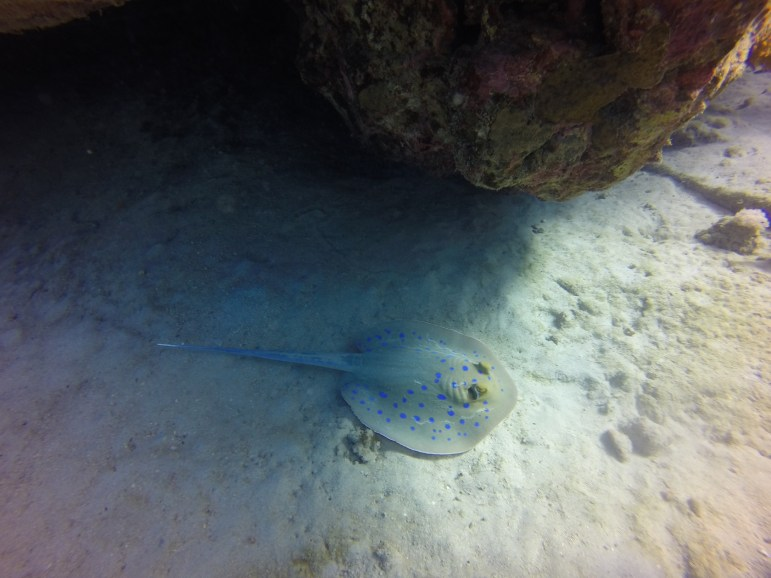 Bluespotted Stingray