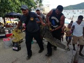 Capturan a cocodrilo gigante que se paseaba por Acapulco #VIDEO