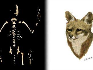 Nueva especie de zorro descubren investigadores de la UNAM