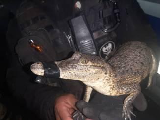 Detienen en La Paz a sujeto que llevaba en su motoneta un caimán y una serpiente